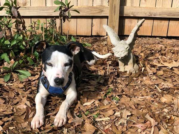 Black and white dog, Poppy, resting next to a gargoyle statue
